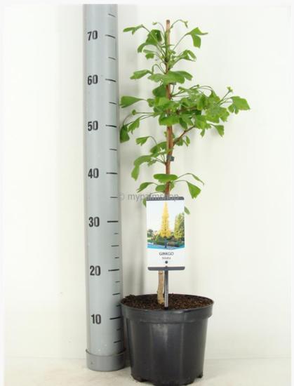 Ginkgo biloba pot Ø 19cm - 3 ltr