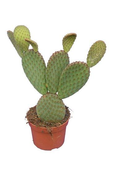 Opuntia rufida pot Ø 12 cm