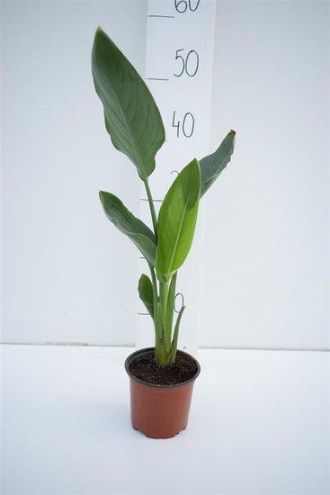 Strelitzia juncea pot Ø 13cm