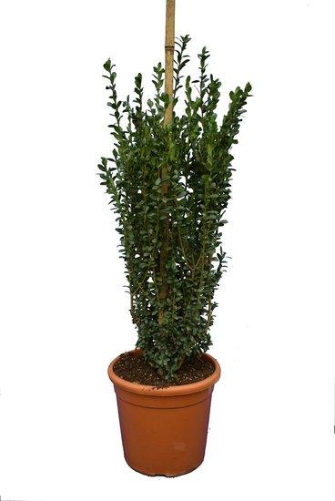 Ilex crenata Caroline Upright pilier pot Ø 28 cm - hauteur totale 100-120 cm
