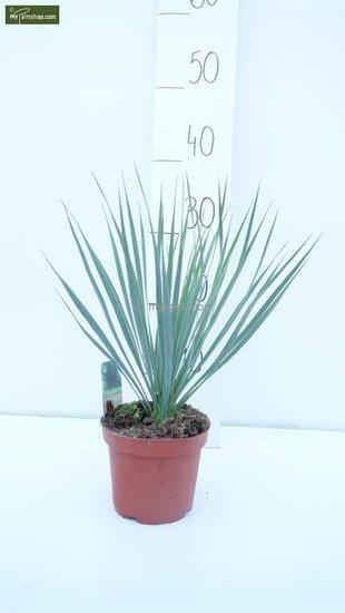 Yucca rostrata hauteur totale 30-40 cm pot Ø 15 cm