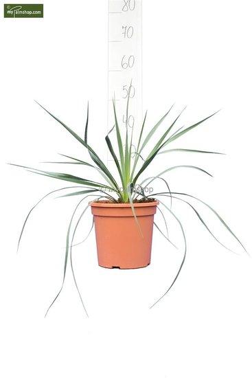 Yucca rostrata hauteur totale 40-60 cm pot Ø 20 cm