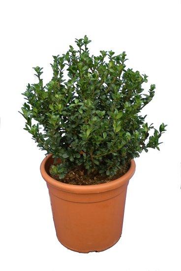 Ilex crenata Caroline Upright arbuste pot Ø 28 cm - hauteur totale 60-80 cm