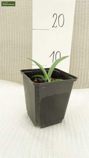 Yucca baccata pot Ø 13 cm