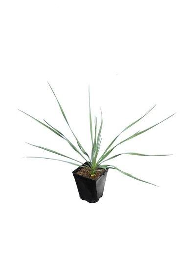 Yucca rostrata Sapphire Skies hauteur totale 40+cm pot P11