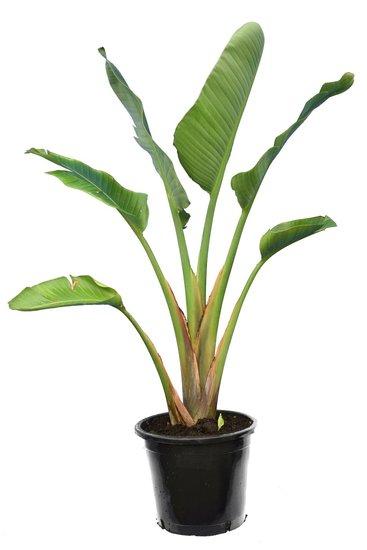 Strelitzia nicolai - hauteur totale 160-180 cm - pot Ø 36 cm - 3 plantes par pot [palette]