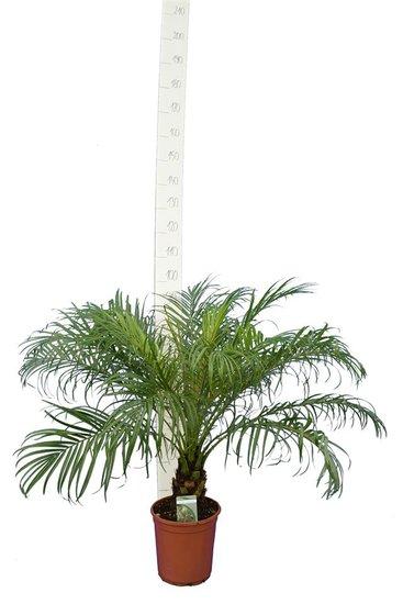 Phoenix roebelenii - tronc 10-20 cm - hauteur totale 100-120 cm -  pot Ø 24 cm