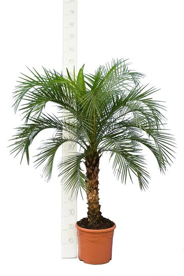 Phoenix roebelenii - tronc 60-80 cm - hauteur totale 140-180 cm - pot Ø 35 cm [palette]