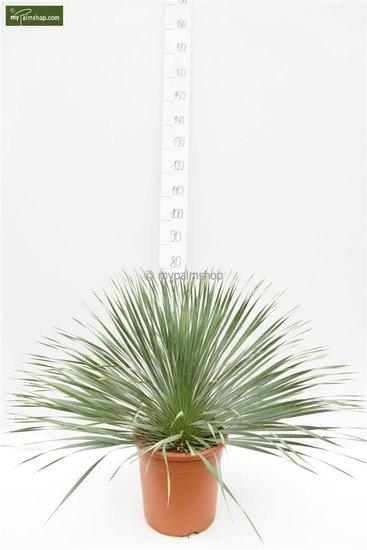 Yucca rostrata - set of 3 - hauteur totale 70-90 cm - pot 26 cm