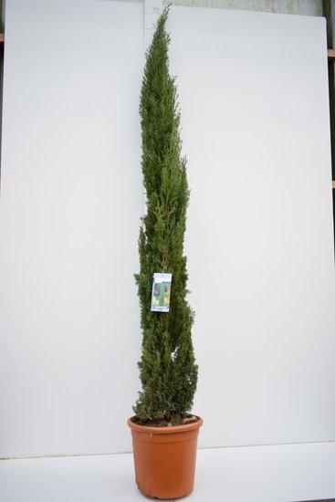 Cupressus sempervirens - hauteur totale 240+ cm - pot Ø 35 cm / 25 ltr - [palette]