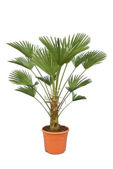 Trachycarpus wagnerianus Frosty - tronc 30-40 cm - hauteur totale 120-140 cm - pot Ø 35 cm