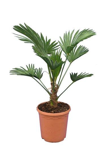 Trachycarpus wagnerianus Frosty - hauteur totale 60-80 cm - pot Ø 23 cm
