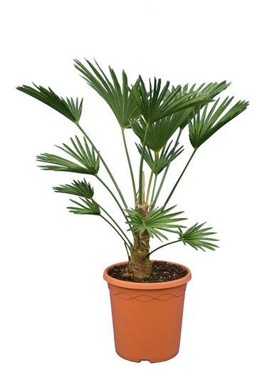 Trachycarpus wagnerianus Frosty - tronc 15-25 cm- hauteur totale 70-90 cm - pot Ø 26 cm