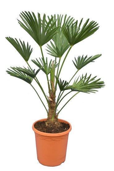 Trachycarpus wagnerianus Frosty - tronc 20-30 cm -  hauteur totale 90-110 cm - pot Ø 26 cm