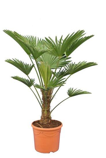 Trachycarpus wagnerianus Frosty - tronc 25-35 cm - hauteur totale 100-120 cm - pot Ø 30 cm