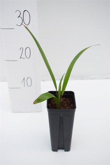 Trachycarpus wagnerianus x naggy - pot 0.7 ltr