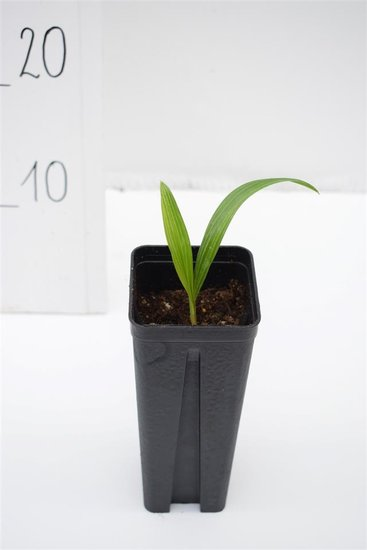 Trachycarpus fortunei x nanus - pot 0.7 ltr