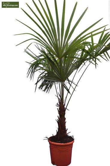Trachycarpus sp. Kumaon - tronc 30-40 cm - hauteur totale 170-190 cm - pot Ø 32 cm [palette]
