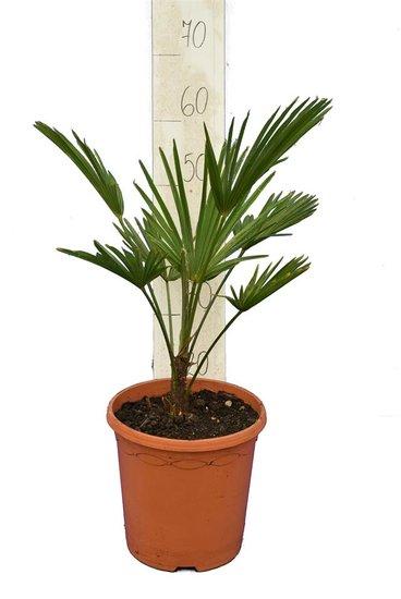 Trachycarpus wagnerianus - hauteur totale 50-70 cm - pot Ø 23 cm