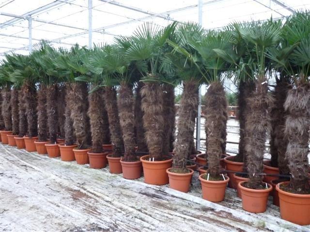 Trachycarpus wagnerianus -  tronc 140-160 cm - pot 90 ltr [palette]
