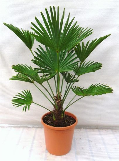 Trachycarpus wagnerianus - tronc 15-25 cm - hauteur totale 90-110 cm - pot Ø 26 cm