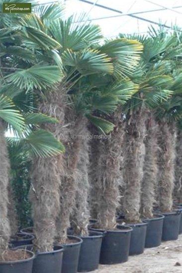 Trachycarpus wagnerianus - tronc 180-200 cm - pot 110 ltr [palette]