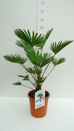 Trachycarpus wagnerianus - tronc 15+ cm - hauteur totale 80-100 cm - pot Ø 26cm