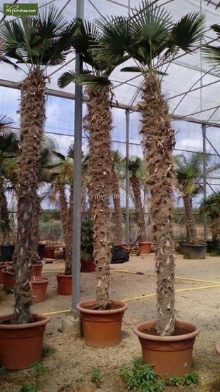 Trachycarpus wagnerianus - tronc 200-225 cm [palette]