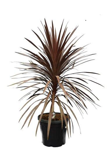 Cordyline australis Red Star - hauteur totale 130-150 cm - pot Ø 42 cm [palette]