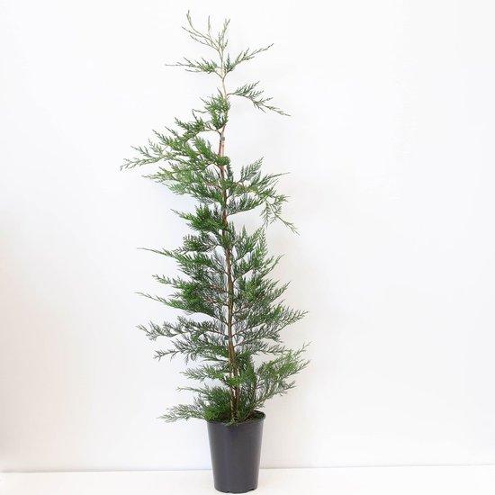 Cupressocyparis leylandii - hauteur totale 120-140 cm - pot 4 ltr