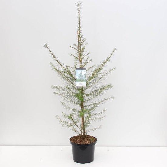 Larix decidua - hauteur totale 100-120 cm - pot 5 ltr