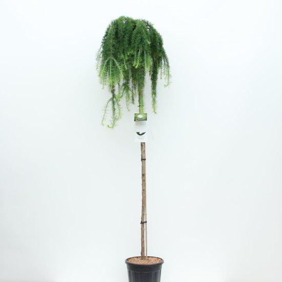 Larix kaempferi Stiff Weeping tronc - hauteur totale 200+ cm - pot 18 ltr