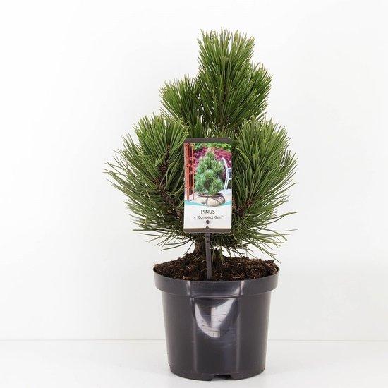 Pinus heldreichii Compact Gem - hauteur totale 40-50 cm - pot 3 ltr