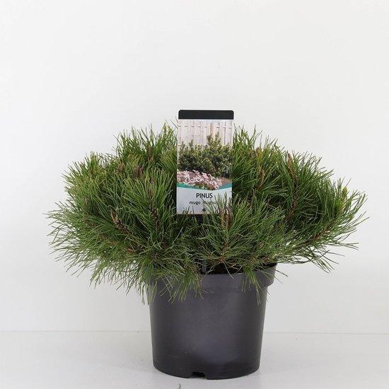 Pinus mugo mughus - hauteur totale 40-50 cm - pot 3 ltr