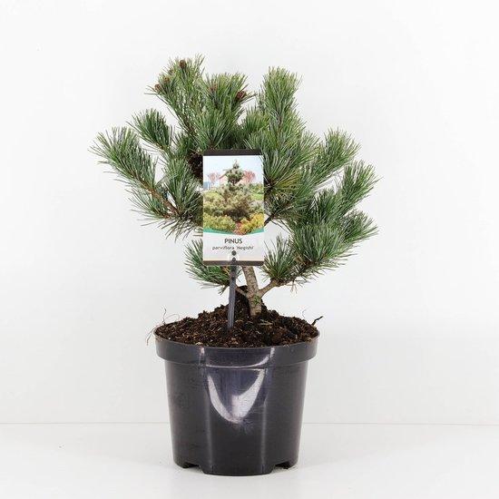 Pinus parviflora Negishi - hauteur totale 50-60 cm - pot 5 ltr