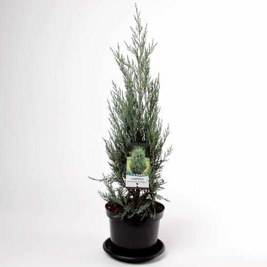 Juniperus scopulorum Moonglow - hauteur totale 70-80 cm - pot 3 ltr