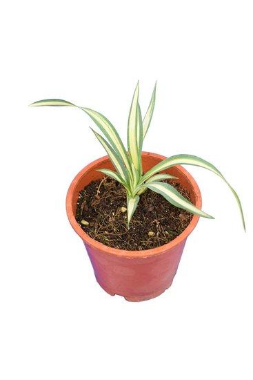 Yucca filamentosa Gold Heart - Hauteur totale 15-20 cm -  pot Ø 14 cm