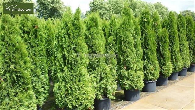 Thuja occidentalis Smaragd (POT) 5 ltr - Hauteur totale 100-120 cm