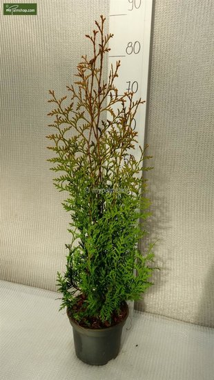 Thuja occidentalis Brabant 2 ltr pot - Hauteur totale 50-70 cm