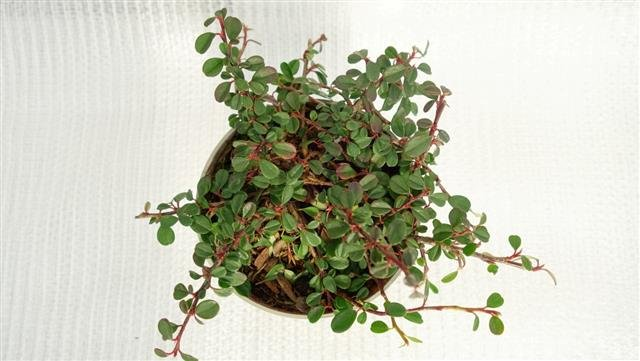 Cotoneaster dammeri Frieders Evergreen