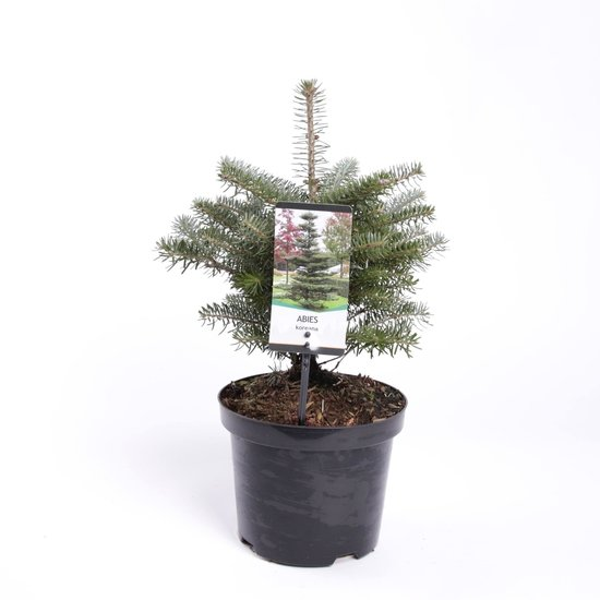 Abies koreana - hauteur totale 40-50 cm - pot Ø 19cm / 3 ltr