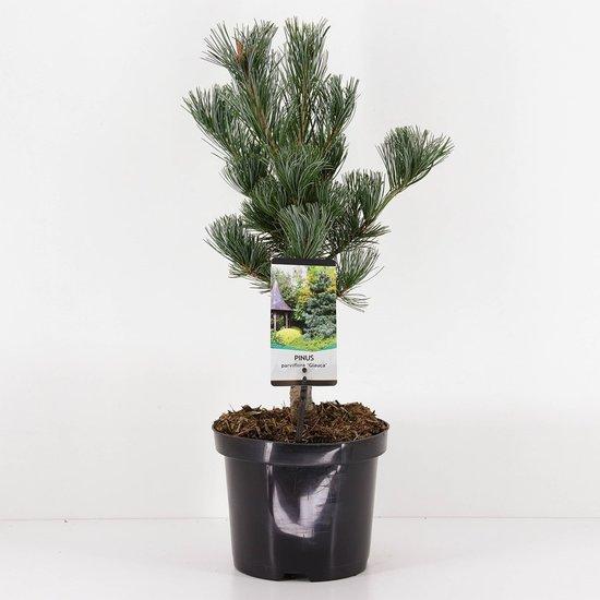Pinus parviflora Glauca - hauteur totale 50-60 cm - pot 3 ltr