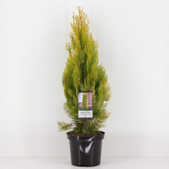 Platycladus orientalis Pyramidalis Aurea - hauteur totale 50-70 cm - pot 3 ltr