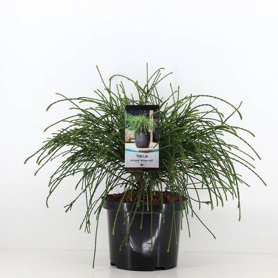 Thuja plicata whipcord - hauteur totale 40+ cm - pot 5 ltr