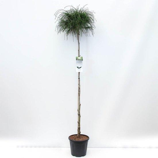 Thuja plicata Whipcord tronc - hauteur totale 220 cm - pot 30 ltr [palette]