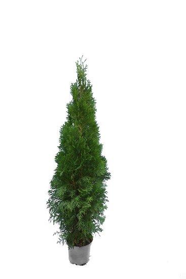Thuja occidentalis Smaragd (POT) - Hauteur totale 100-120 cm - pot 7.5 ltr