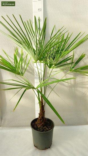 Trachycarpus sp. Kumaon - tronc 10-20 cm - hauteur totale 130-150 cm - pot Ø 30 cm