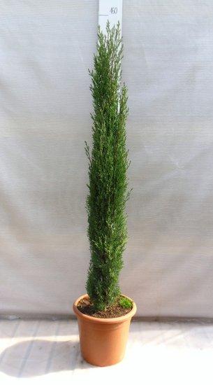 Cupressus sempervirens - hauteur totale 200+ cm - pot Ø 35 cm - [palette]