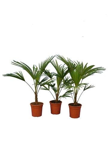 Trachycarpus sp. Nova - hauteur totale 80-100 cm - pot Ø 21 cm - set of 3