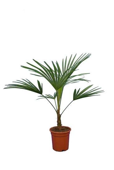 Trachycarpus sp. Nova pot - hauteur totale 80-100 cm - Ø 21 cm